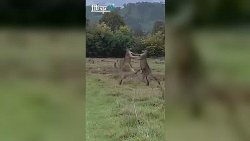 滑稽!两只袋鼠地里打架发现有人偷拍 淡定瞅了一眼后又打了起来