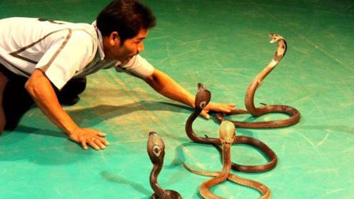 如果吞下最毒的蛇会怎样?动画描绘真实过程,让人揪心不已!