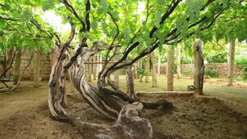 世界上最古老的葡萄树,176年的树龄,每年均产7吨葡萄