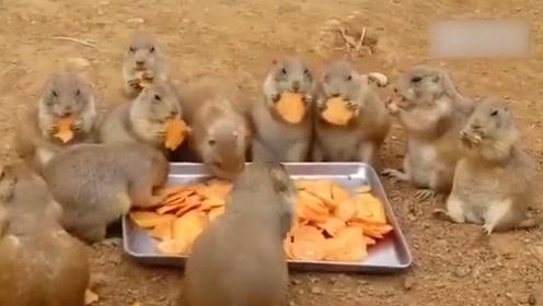 一大群土拨鼠吃胡萝卜,一个接着一个的啃着,画面太有爱了