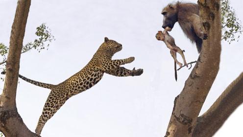 可怜的小狒狒,被豹子吃了母亲,还被当成玩具玩耍!