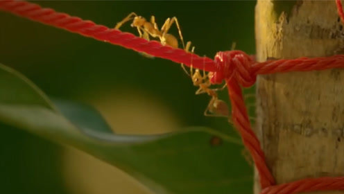 农民伯伯在庄稼地绑红绳,竟有这么大的用处?害虫全部死光光了!