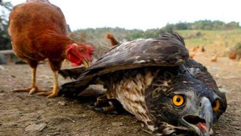 老鹰捕食鸡宝宝,不料母鸡以命相搏,镜头记录悲惨一幕!