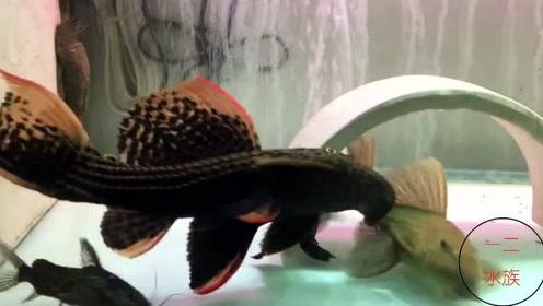 清道夫还有另外一个名字,国王异型,看完才知道,异形鱼是咋回事