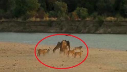 大象妈妈刚生下宝宝,遭到了狮群围攻,下一秒的场面让人感动