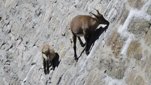 一生几乎都生活在悬崖峭壁上的羊,不会掉下来吗?太神奇了