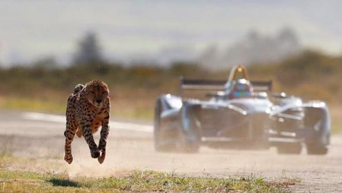 超跑被猎豹追赶,摄影师冒死拍下精彩画面,网友:太精彩了!