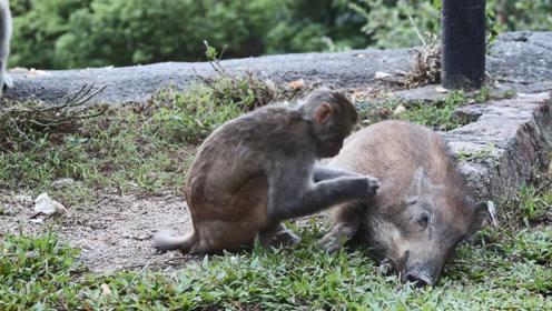当野猪遇到猴子会发生什么趣事?这画面太搞笑了,镜头拍下全过程