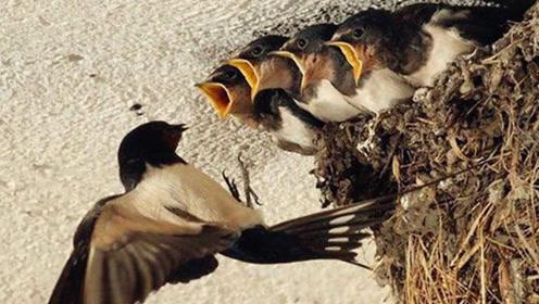 """为什么燕子不进""""苦寒门"""",它们是怎么区分家庭的?看完解开疑惑"""