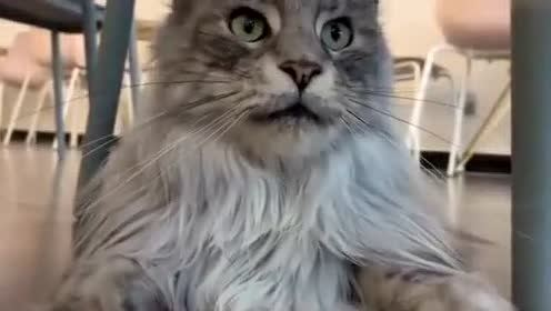 这只猫长的也太像狮子了!