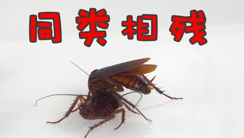 实测拜灭士的灭蟑效果:恐怖的连锁反应,一个吃全家死