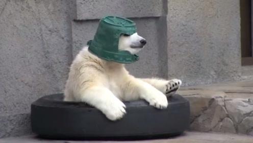 北极熊钟爱绿色水桶,经常当帽子戴在头上,网友:是我的一级头了