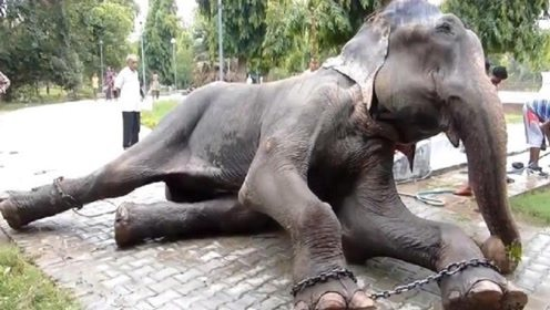 这头大象被虐待了50年,看完它之前的生活,让人心疼流泪