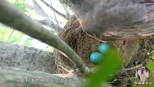 鸟妈妈捕食回来,却发现巢里多了颗蛋,结果它的做法太霸气