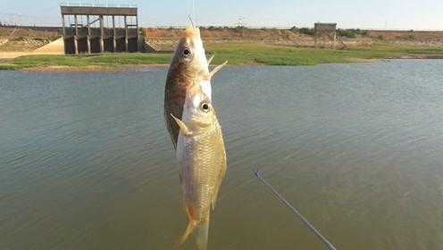 这水闸口到底有多少鱼啊?浮漂下水就黑漂,双钩狂拉鲤鱼爆护了