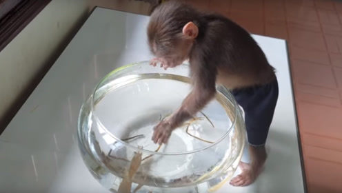 主人给猴子买了两只虾,猴子调皮伸手去抓,接下来画面太搞笑