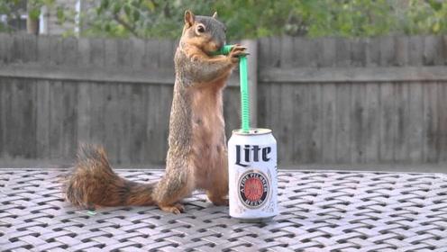 松鼠偷喝一整罐啤酒,接下来的反应,让人笑出鼻涕泡!