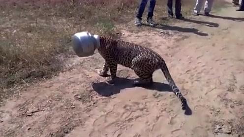 """豹子带着""""头盔"""",闯入村庄寻找食物,下一秒场面画风竟然变!"""