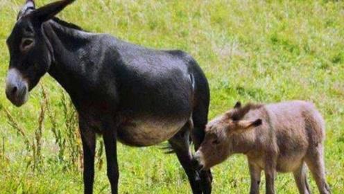 马和驴到底做了什么?导致骡子没有生育能力,网友:心疼骡子