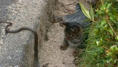 一觉睡醒发现身后有条蛇,狸花猫:那我就不客气了