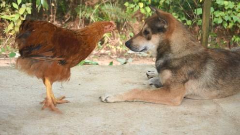 村里最怂的土狗又丢人了,小鸡追着咬,土狗屁都不敢放一个
