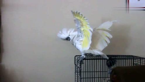 学狗叫的鹦鹉,太像了,哈哈