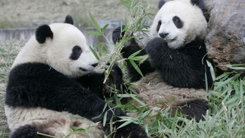永远不再属于中国了,这两只大熊猫无法回国,并且再也要不回来了