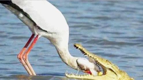 鳄鱼竟然存在天敌,这种鸟类专吃鳄鱼,鳄鱼见着它们转脸就跑!