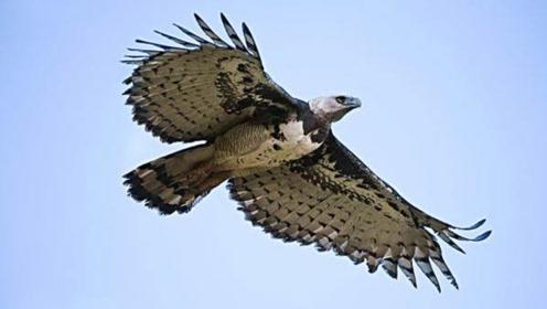 """世界最大的飞禽,堪称""""空中野兽"""",爪力高达180公斤"""