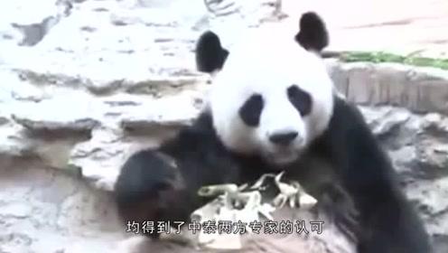 """中泰双方公布旅泰大熊猫""""创创""""死亡原因,泰方或将赔偿损失"""