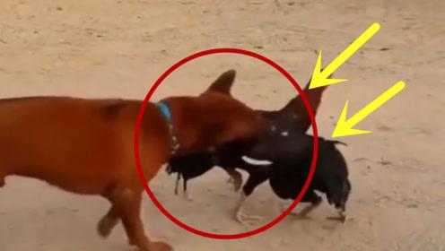 村口两只公鸡一起约架,狗子好意去劝架,结果遭到惨打!