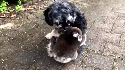 萌宠 惊慌的考拉宝宝误把狗子当妈妈,紧紧抱住就是不下来,笑死铲屎官!