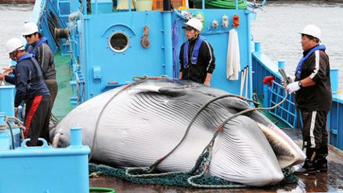 日本人捕杀一头鲸鱼,到底能赚到多少钱?说来很多人不相信