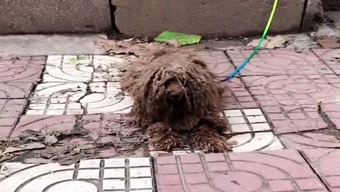 这是我见过混的最差的泰迪,可怜没有找到一个好人家,如今沦落成流浪狗!