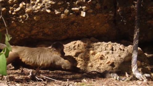 锦蛇成功捕获沙鼠,卷毛猴不仅想用石头吓走它,还想和锦蛇抢食