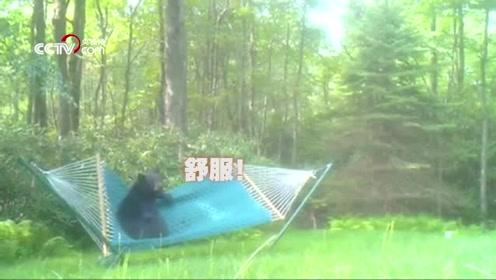 前方高萌!黑熊爬吊床试图躺下 结果被弹到地上