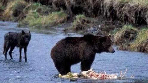 黑熊将野狼五马分尸,同伴看到后气愤不已,拼了命也要抢回尸体!