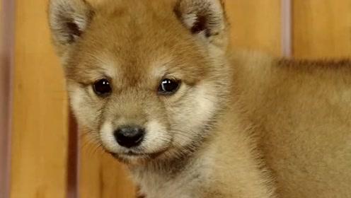 朋友家的柴犬宝宝超害羞,我的心都要被它这怯生生的小表情萌化了!