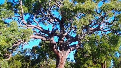 """这种树能够结出""""黄金叶"""" 网友:还缺护林员吗?"""