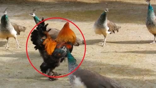 孔雀群里闯入一只公鸡!孔雀反应太过真实,公鸡能力太强了