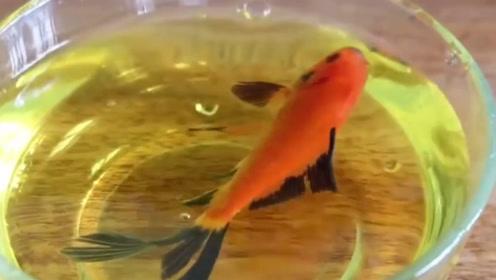 老外猎奇实验,把金鱼放到红牛中,它们会不会兴奋呢?