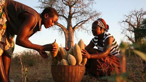 非洲天然水库竟是一颗树?一棵储水量几吨,喝一年都喝不完!