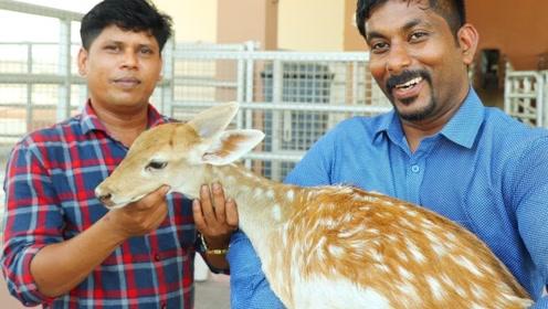 印度大叔买回一头25斤的梅花鹿,整头炖1个小时,出锅抓着吃