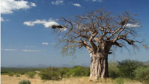 """非洲的""""生命之树"""",一次能储存2吨水,引进国内让人心酸"""