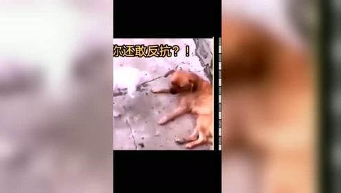 狗子:该找谁去评理,狗界几年内是抬不起狗头了!