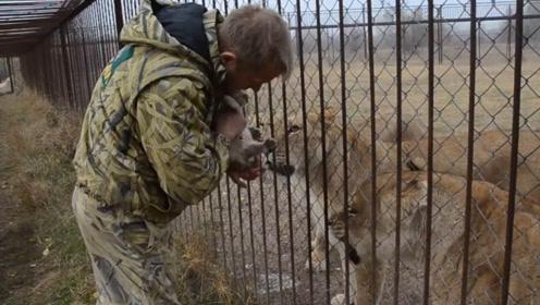 男主人偷走小狮子,给母狮急坏了,直接冲了出来,太可怕了