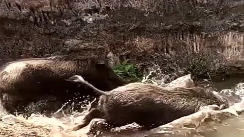 野猪出山觅食,遇到小水坑直接就冲过去,看上去很厉害啊!