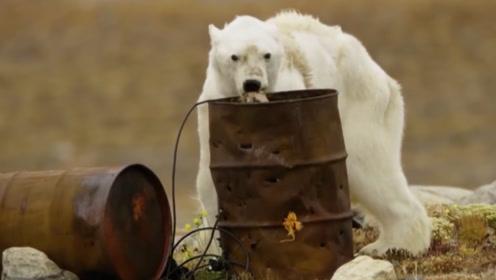 为什么给快要饿死的北极熊喂食,是违法行为?背后的原因很心酸