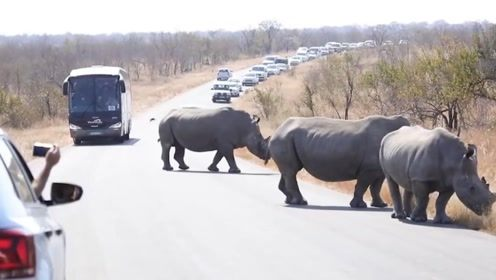 犀牛群突然闯入公路上,导致车辆严重堵车,这是准备在这里定居?