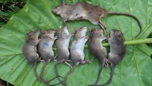 老鼠破坏庄稼,村民气坏了,掏老鼠洞直接烤着吃